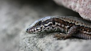 Preview wallpaper lizard, stone, lying