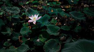 Preview wallpaper lotus, flower, leaves, lake