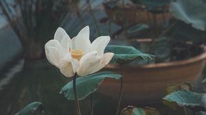 Preview wallpaper lotus, flower, white, bud, petals, bloom