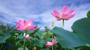 Preview wallpaper lotus, green, sky, foliage