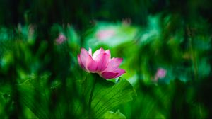 Preview wallpaper lotus, leaves, bloom, blur