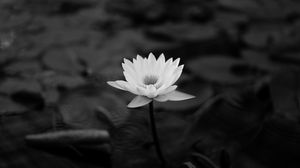 Preview wallpaper lotus, water lily, bw, leaves