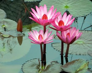 Preview wallpaper lotus, water lily, water