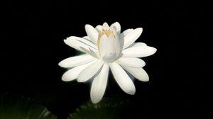 Preview wallpaper lotus, white, bloom, dark background