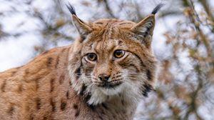 Preview wallpaper lynx, animal, big cat, brown, wildlife