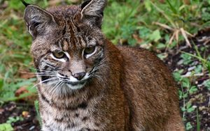 Preview wallpaper lynx, big cat, animal, wildlife
