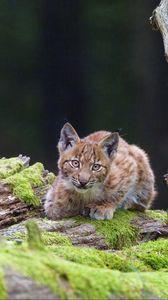 Preview wallpaper lynx, cub, glance, big cat, wildlife