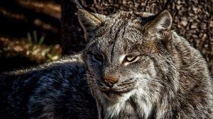 Preview wallpaper lynx, face, eyes
