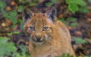 Preview wallpaper lynx, kitten, glance, animal, cute