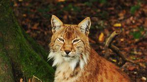 Preview wallpaper lynx, predator, animal, forest