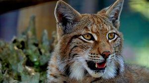 Preview wallpaper lynx, predator, big cat, fangs