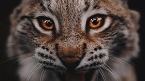 Preview wallpaper lynx, predator, big cat, glance, eyes