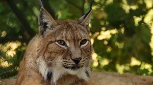 Preview wallpaper lynx, predator, big cat, muzzle