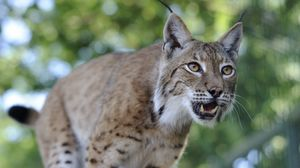 Preview wallpaper lynx, predator, face, teeth