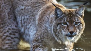 Preview wallpaper lynx, predator, muzzle, water
