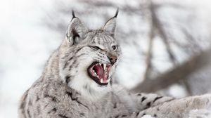 Preview wallpaper lynx, predator, snow, aggression