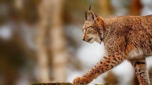 Preview wallpaper lynx, stone, walk