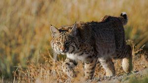 Preview wallpaper lynx, wild cat, grass, predator