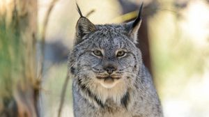 Preview wallpaper lynx, wolf, cat, look