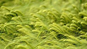 Preview wallpaper macro, field, ears, wheat