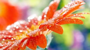 Preview wallpaper macro, flower, drops, dew