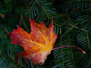 Preview wallpaper maple leaf, leaf, branches, needles, macro, autumn