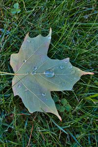 Preview wallpaper maple leaf, leaf, drops, macro, green