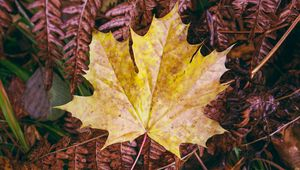 Preview wallpaper maple leaf, leaves, autumn, macro