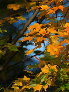 Preview wallpaper maple, leaves, branches, autumn, macro