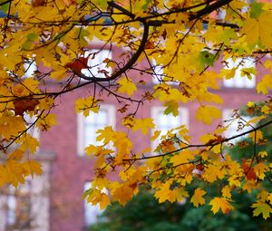 Preview wallpaper maple, leaves, branches, macro, autumn