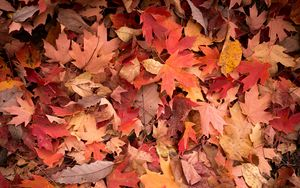 Preview wallpaper maple leaves, leaves, red, autumn, macro