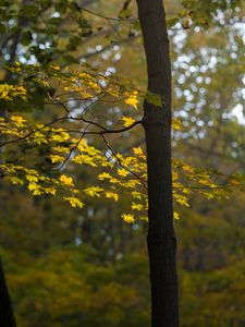 Preview wallpaper maple, tree, forest, autumn, nature