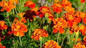 Preview wallpaper marigolds, flowers, orange, bright
