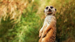 Preview wallpaper meerkat, funny, sitting
