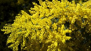 Preview wallpaper mimosa, branches, bushes, fluffy, bright, spring