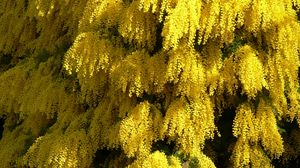Preview wallpaper mimosa, flowering, spring, fluffy, beautiful