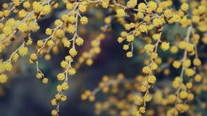 Preview wallpaper mimosa, flowers, beautiful