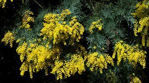 Preview wallpaper mimosa, shrub, spring, beauty