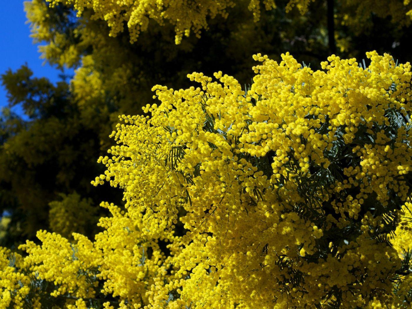 1400x1050 Wallpaper mimosa, twigs, shrubs, fluffy, spring, sky