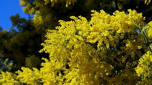 Preview wallpaper mimosa, twigs, shrubs, fluffy, spring, sky