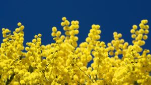 Preview wallpaper mimosa, twigs, yellow, fluffy, close-up, sky