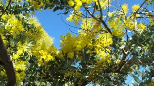 Preview wallpaper mimosa, woolly, bright, branch, sky