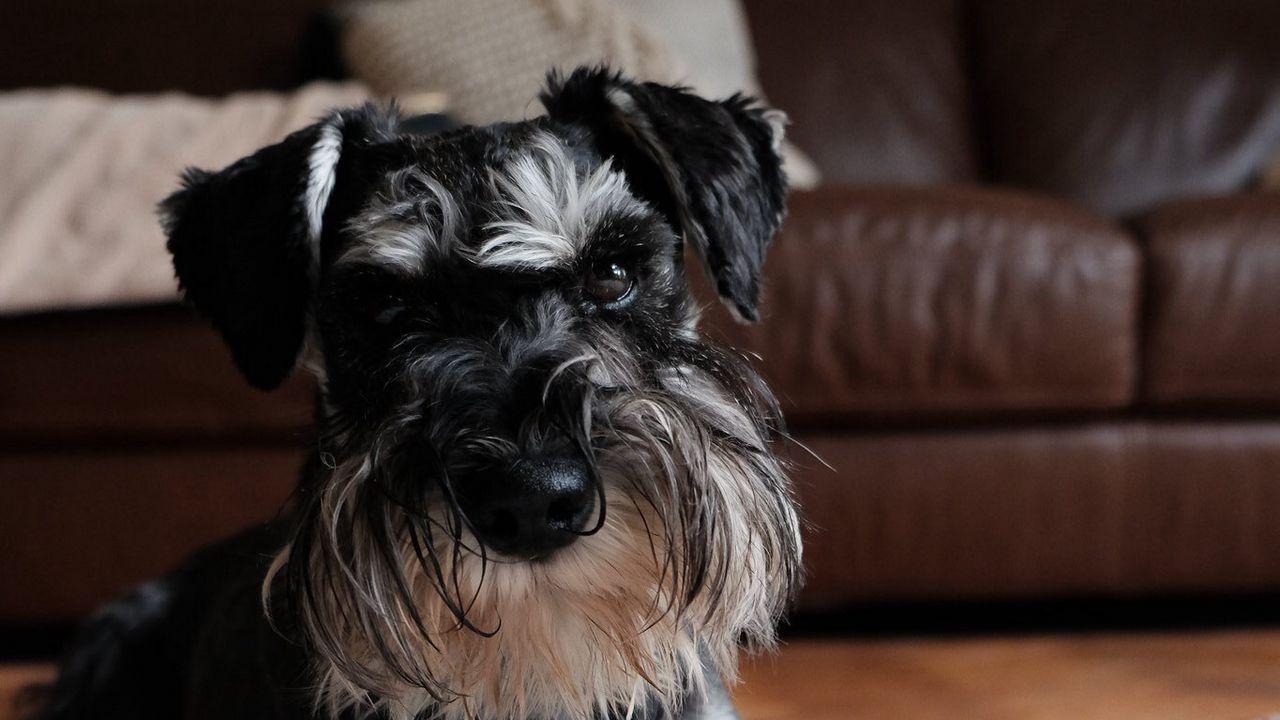 Wallpaperminiatureschnauzer,dog,pet,fluffy高清壁纸免费下载