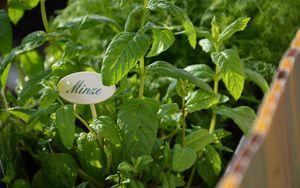 Preview wallpaper mint, garden, growing