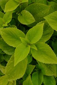 Preview wallpaper mint, leaves, drops, macro, wet