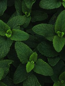 Preview wallpaper mint, leaves, veins, plant