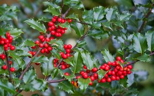 Preview wallpaper mistletoe, berries, branches, leaves, macro