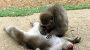 Preview wallpaper monkey, couple, caring