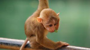 Preview wallpaper monkey, funny, little