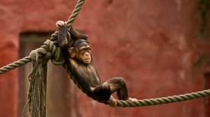 Preview wallpaper monkey, rope, entertainment